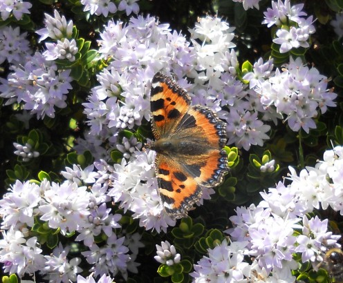 A small tortoiseshell butterfly rests on a flowering Hebe shrub