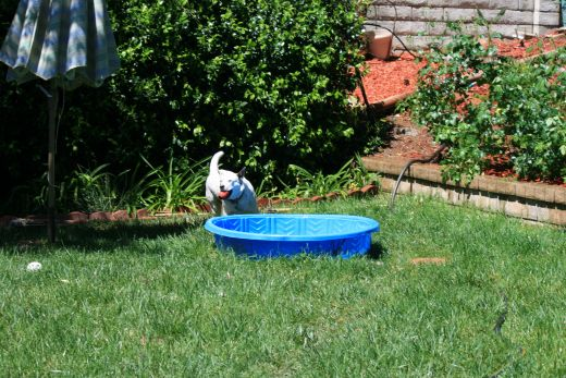 Swimming pools for dogs, ducks etc, need to be hosed and refilled at least every other day, remember they play and drink in their water, and the hot sun makes it too warm on really hot summer days.
