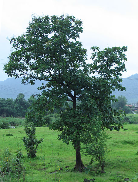 Teak tree growing in India