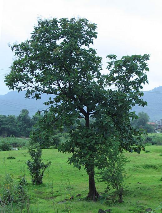 Teak tree growing in India