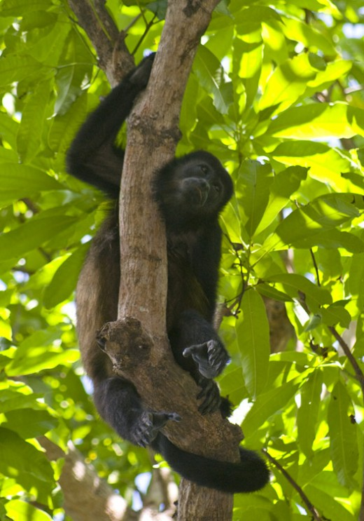 A howler monkey resting on a mango tree limb along Hermosa Beach.  They are called congos in Costa Rica.  A group of howlers lives in this area and you are very likely to see one.