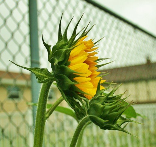 Sunflowers are easy to grow--even in the city!