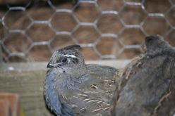 "As the baby California Quail mature they turn different shades of blue and black markings deepen, their ""dingle-berries"" become more promenent on top of their delicate heads."