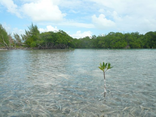 A single mangrove tree sprout in the sea.