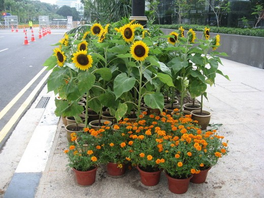 Pots of sunflowers and marigolds liven the urban landscape in Singapore.