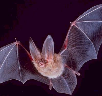 Big Eared Townsend Bat