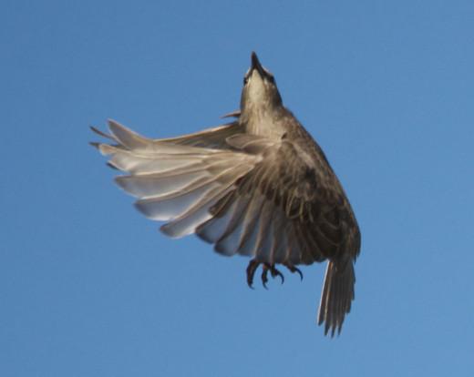 Fledgling European Starling