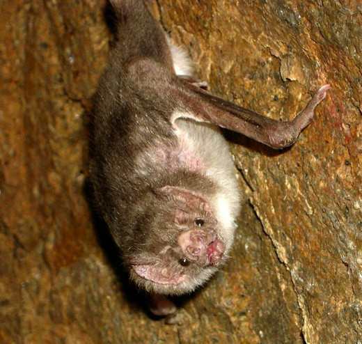 The common vampire bat is a rather ugly creature.