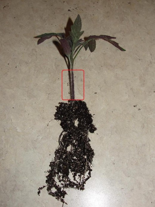 The entire stem area should be planted below ground level to make new roots appear.