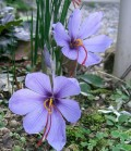 Saffron - A Cancer Fighting Red Spice