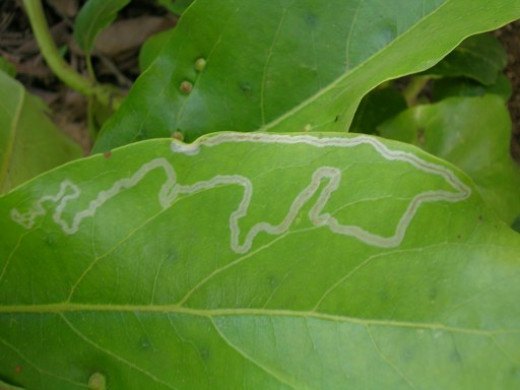 """Leaf miners """"mine"""" their food by tunneling under the epidermal layers of leaves."""