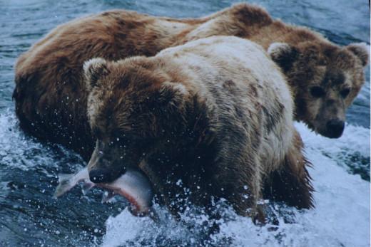 an omnivorous bear eating a salmon