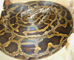 Facts about Burmese Pythons in the Florida Everglades