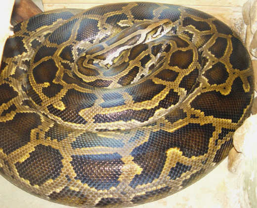 Burmese python (Python molurus bivittatus). This invasive species causes problems for threatened local animals including: the Florida panther, mangrove fox squirrel, Key Largo woodrat, wood stork, indigo snake, and American crocodile.