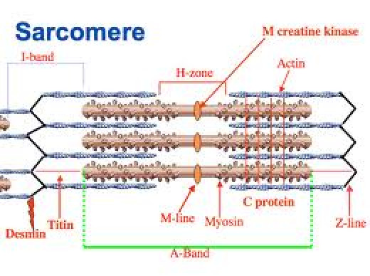 Sarcomere-smallest unit of the muscle