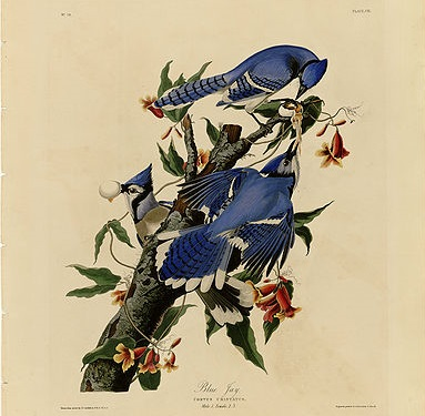 "Plate 102 of ""Birds of America"" by John James Audubon."