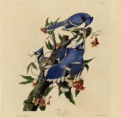 "Plate 102 of ""Birds of America"" by John James Audubon."