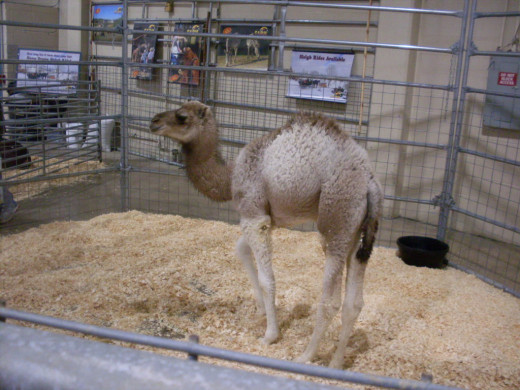 Baby camel from Walnut Creek Farms