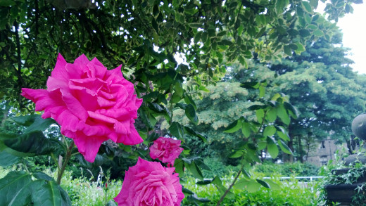 Pink Roses 808