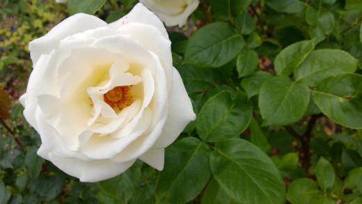 White Rose 720