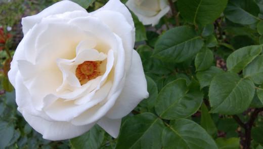White Rose 920