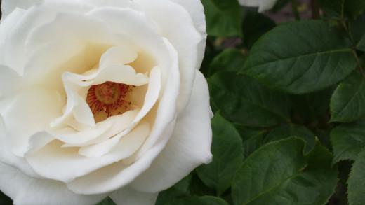 White Rose 808