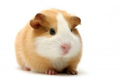 All about guinea pigs