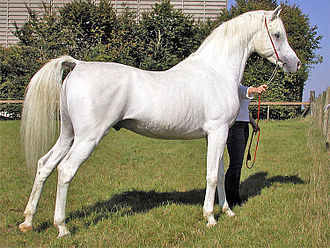 Arabian Horse, very majestic and awesome