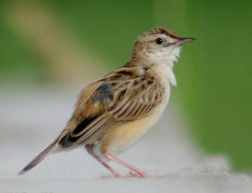 Zitting warbler in breeding plumage