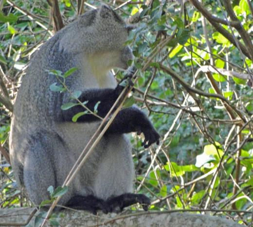Samango or Sykes Monkey