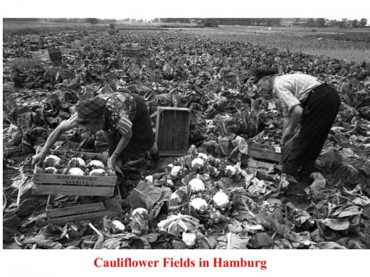 Cauliflower fields in Hamburg.
