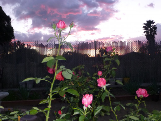 the end of the day, a beautiful sunset--Rosebuds ready to open!  God's beauty!