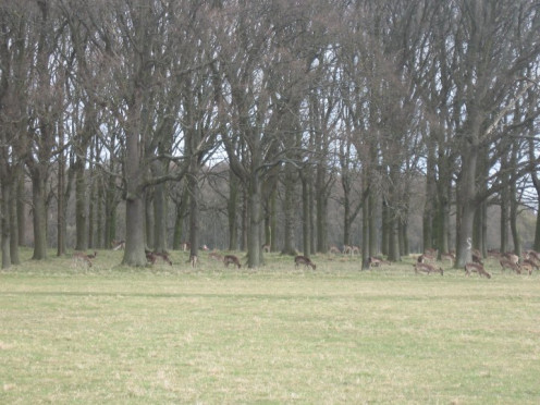 Fallow deer have been present in Phoenix Park since the seventeenth century when they were hunted for sport by the gentry of the day