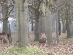 The herd is normally situated on the 200-acre flat meadow area known as the Fifteen Acres, and in the woodland of Old town Wood on its northern perimeter in The Phoenix Park.