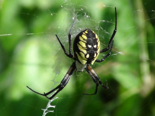This beautiful huge spider lived in the garden for a summer