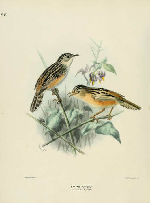 The Illustration is taken from the book The History of the Birds of Europe 1871-81. H E. Dresser.  The bird is illustrated under its former name of the Fan-tailed warbler, along with its former scientific name. Courtesy of the BHL