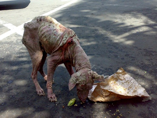 This is a street dog in Bali with untreated mange.