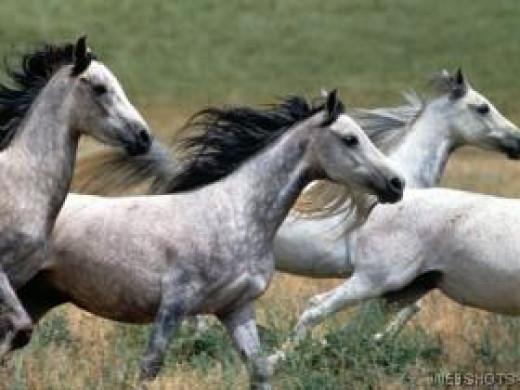 Arabian stallions on the move