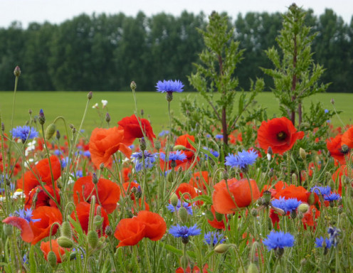 A glorious field of complementary cornflowers and poppies