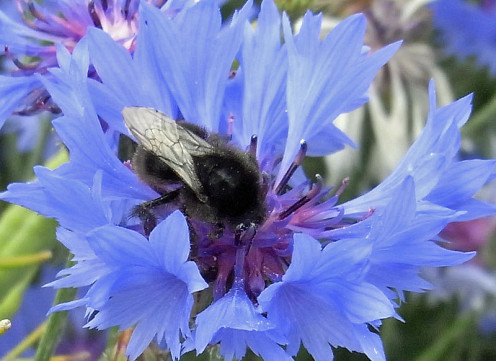 A bumblebee enjoying the nectar of a brilliant blue cornflower