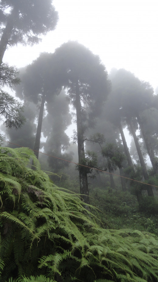 Tall trees of Darjeeling among the beautiful cloud