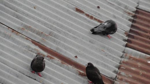 Pigeons in Darjeeling