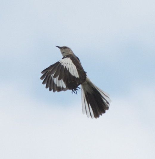 Northern Mockingbirds Can Be Good Acrobats