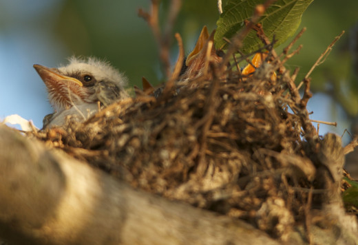Nestling Flycatchers