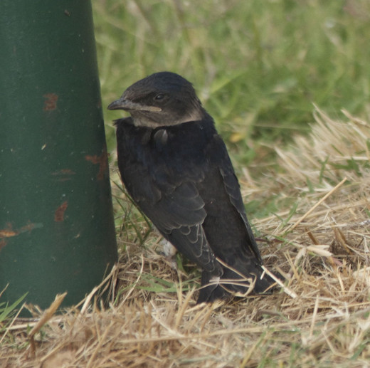 Purple Martin Fledgling