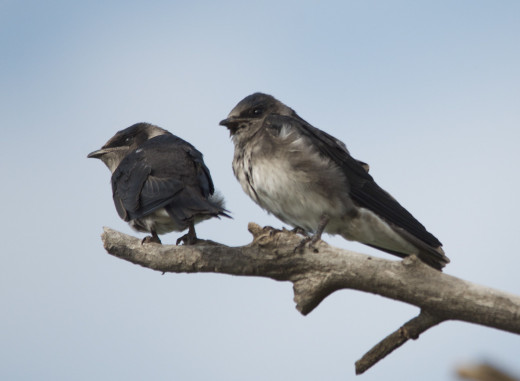 Fledgling Eastern Kingbirds