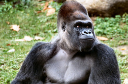 Acid reflux and heartburn can be a real monkey on your back. Maybe even a gorilla.