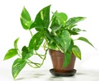 Devil's Ivy or Pothos