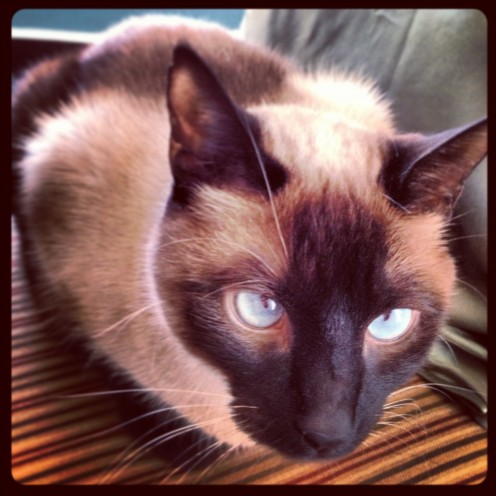 Things About Siamese Cats You Should Know