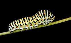 Swallowtail Caterpillars & Golden Alexanders
